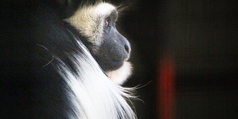 Black-and-white Colobus Monkey at Adelaide Zoo