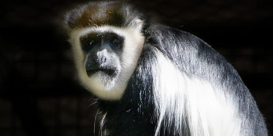 black and white colobus adelaide zoo