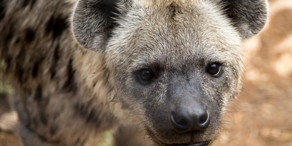 Spotted Hyena Adelaide Zoo