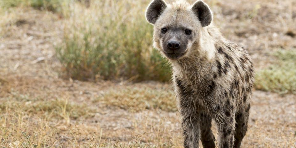 Mkoko Hyena Adelaide Zoo