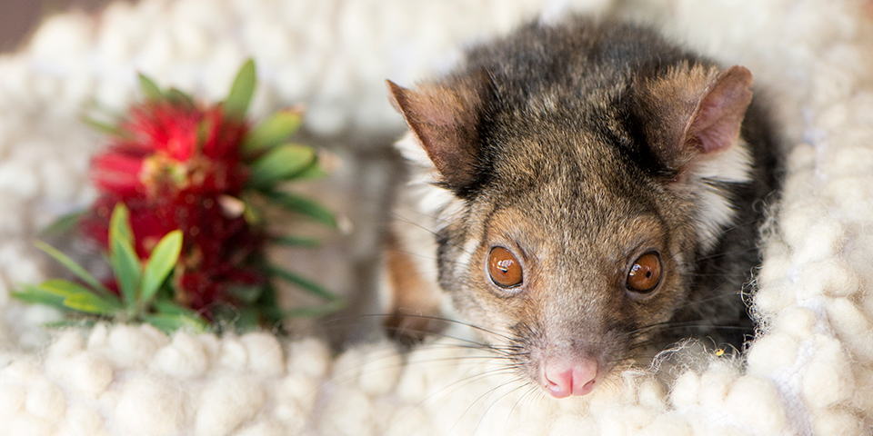 Ringtail Possum Adelaide Zoo