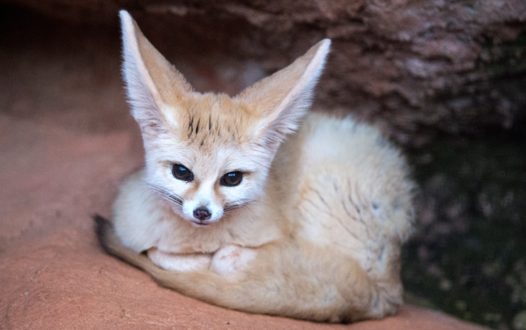 Fennec Fox curled up into ball looking at camera.