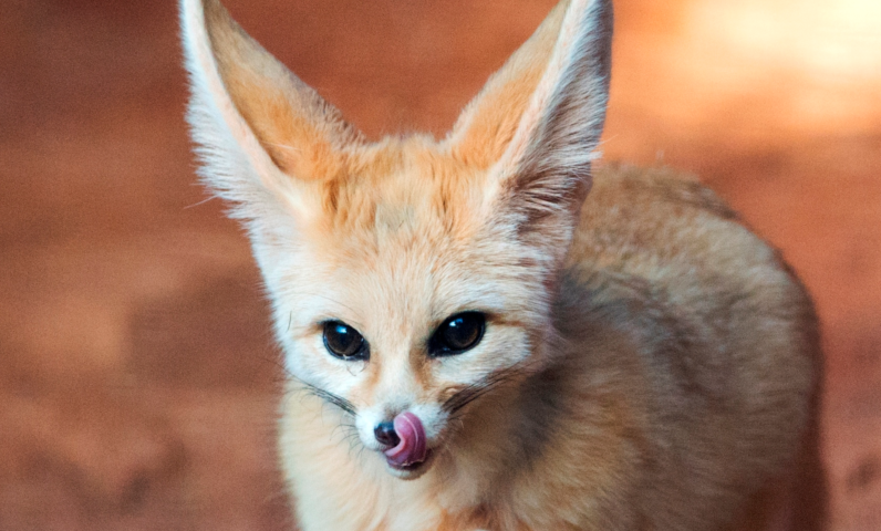 Fennec Fox licking its lips