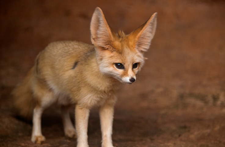 Fennec Fox standing on all fours in enclosure.