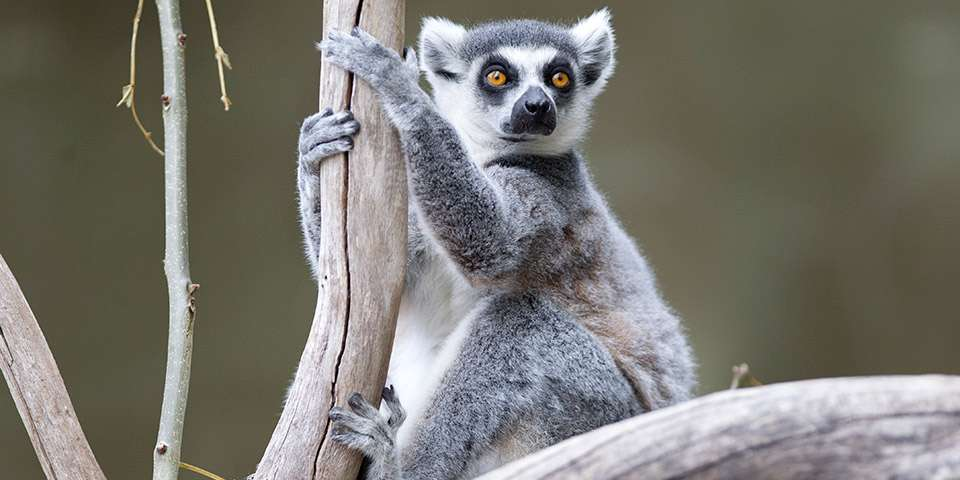 Ring Tailed Lemur Adelaide Zoo