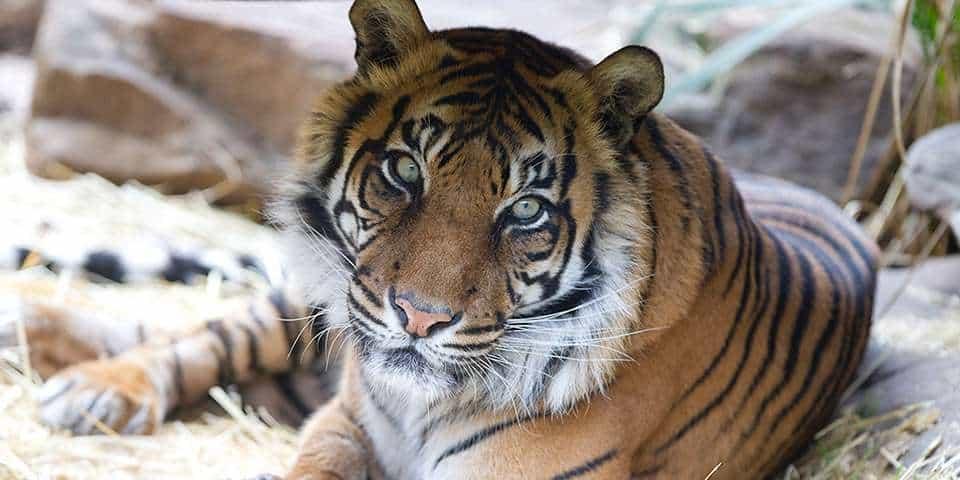 Sumatran Tiger Facts & Information - Adelaide Zoo