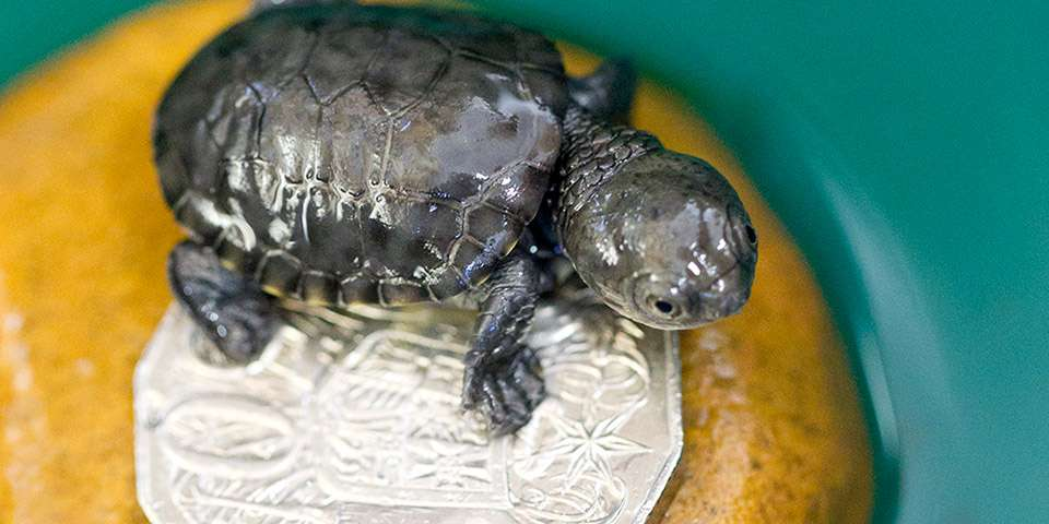 Meet Our Tiny Western Swamp Tortoises At Adelaide Zoo