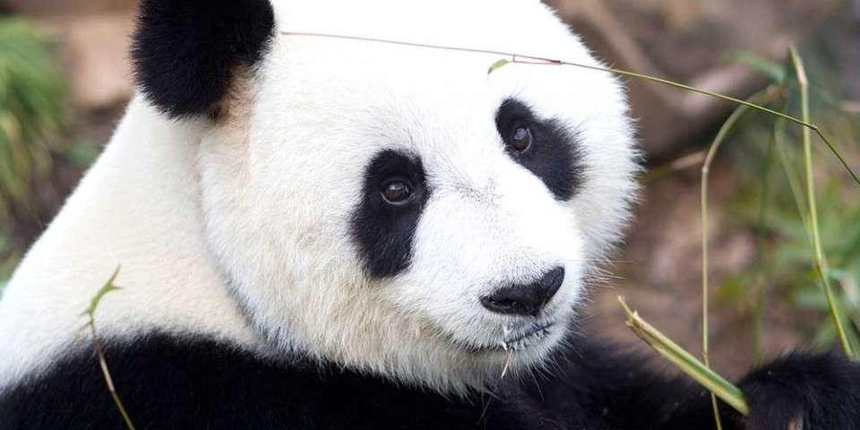 Giant Panda Facts - Adelaide Zoo