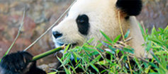 Giant Panda eating green bamboo shoots