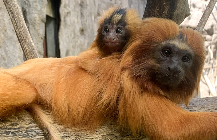 Golden Lion Tamarins; naming competition; adelaide zoo